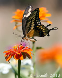 Swallowtail Butterfly and Orange Zinnia