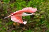 Spatola rosata