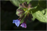 gevlekt Longkruid - Pulmonaria officinalis