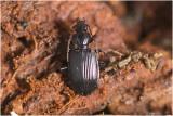 Haarsprietloopkever - Loricera pilicornis