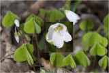 witte Klaverzuring - Oxalis acetosella
