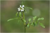 witte Waterkers - Nasturtium officinale