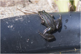 Gallery Edible Frog  - groene Kikker - Pelophylax lessonae