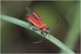 Vuurboktor - Pyrrhidium sanguineum