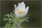 Wildemanskruid - Pulsatilla vulgaris