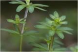 glad Walstro - Galium mollugo