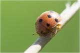 Heggenranklieveheersbeestje - Henosepilachna argus