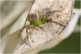 groene Krabspin - Diaea dorsata
