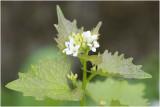Look zonder Look - Alliaria petiolata