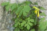 gele Helmbloem - Pseudofumaria lutea