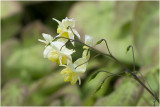 Elfenbloem - Epimedium versicolor