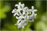 Lievevrouwebedstro - Galium odoratum