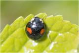 Viervlekkig Aziatisch lieveheersbeestje - Harmonia axyridis f. conspicua