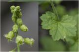 fraaie Franjekelk - Tellima grandiflora