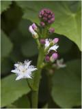 Waterdrieblad - Menyanthes trifoliata