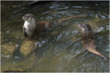 Otter - Lutra lutra