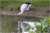 GALLERY Ooievaar - Ciconia ciconia - Stork - Cigogne