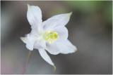 wilde Akelei - Aquilegia vulgaris