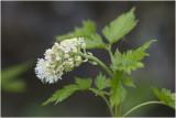 Christoffelkruid - Actaea spicata