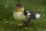 GALLERY  eenden - ducks