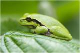 GALLERY EUROPESE BOOMKIKKER - European Tree Frog