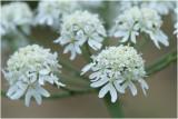 grote Engelwortel - Angelica archangelica