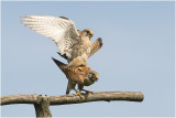 GALERIJ  Project Torenvalk Common Kestrel  - Falco tinnunculus