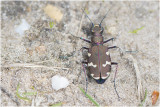 Basterdzandloopkever - Cicindela hybrida