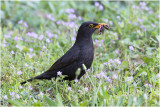 Merel - Turdus merula - Common Blackbird Gallery