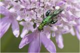 fraaie Schijnboktor - Oedomera nobilis