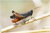 Sprinkhanen, Krekels en Cicaden