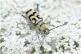 Kommawespenboktor - Chlorophorus varius