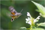 Gallery Kolibrievlinder