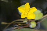 Watergentiaan - Nymphoides peltata
