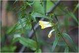 Hengel - Melampyrum pratense
