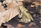 GALLERY bruine Kikker - Rana temporaria - Common Frog