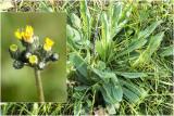 Weidehavikskruid - Hieracium caespitosum