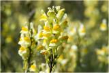 Vlasbekje - Linaria vulgaris