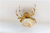 Kruisspin - Araneus diadematus