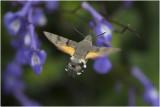 Kolibrievlinder - Macroglossum stellatarum
