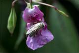 Wit bepoederde Honingbij - Apis mellifera