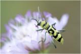 Boktorren, schijnboktorren en Kniptorren - longhorned beetles