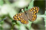 Rupsen en Dagvlinders - Caterpillars and butterflies