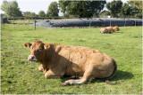 Limousine vleeskoeien