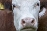 GALLERY  Cattle - rundvee