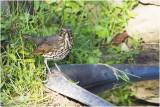 Zanglijster - Turdus philomelos