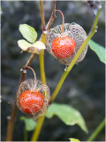 Lampionplant - Physalis alkekengi