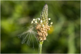 smalle Weegbree - Plantago lanceolata