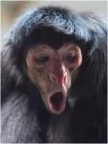 roodgezicht Slingeraap - Ateles paniscus