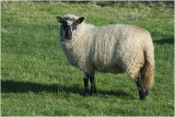 GALLERY  Sheep - Schapenrassen